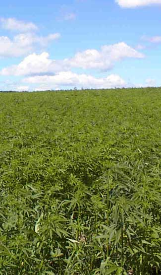 field of Hemp in the UK